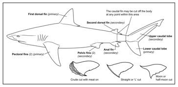 Great White Shark Printout - ZoomSharks.com