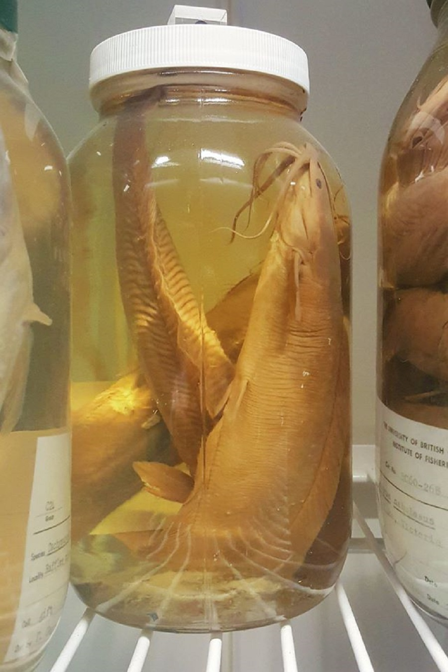A new use for museum fish specimens